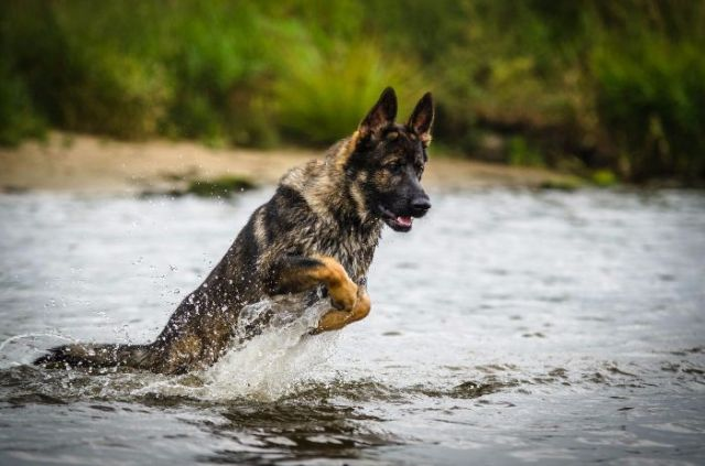Picture of a German Shepherd running through water